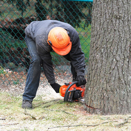 A Man Cuts Down a Tree With a Chainsaw.