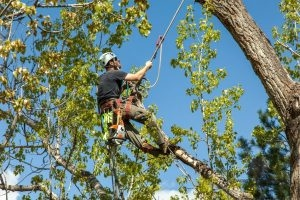 Tree Trimming and Pruning in Fort Worth, TX.