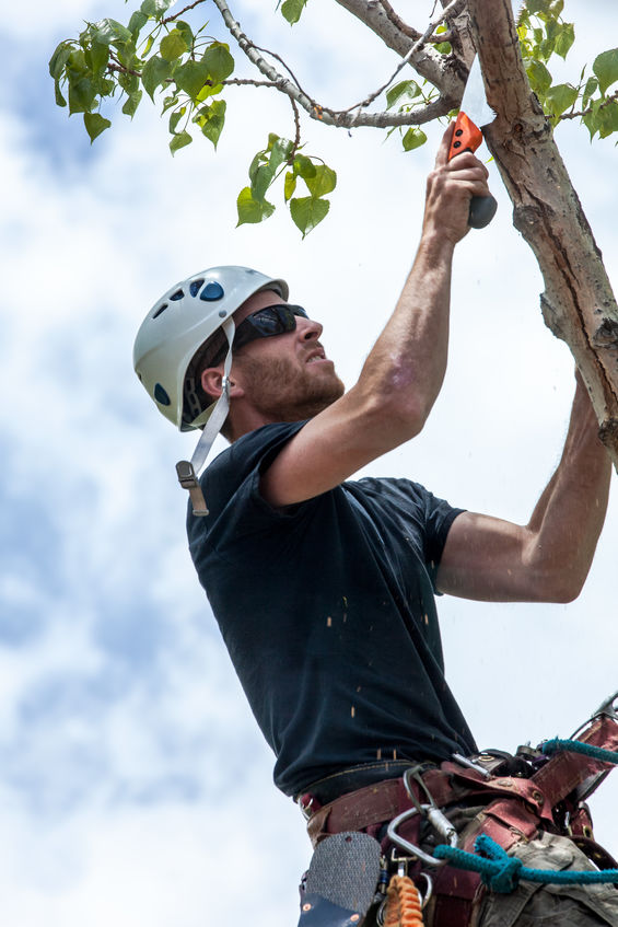 Lawn Care Specialist Pruning and Completing Tree Maintenance