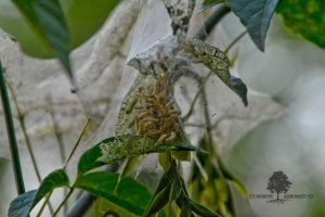 Webworm Treatment