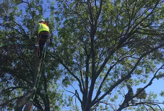 Yearly Tree Maintenance